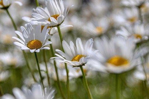 Marga Renon, Flowers, White, Bloom, Garden, Flora