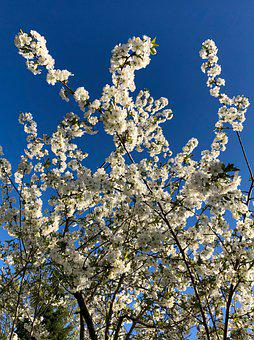Sour Cherry, Branch, Flowers, Spring, Fruit Tree, White