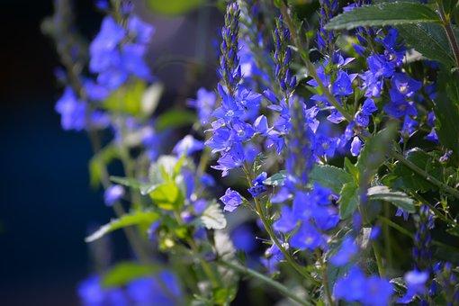 Flowers, Garden, Spring, Summer, Flora, Purple, Flower