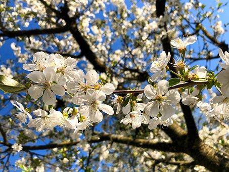 Sour Cherry, Branch, Blossom, Bloom, Spring, Fruit Tree
