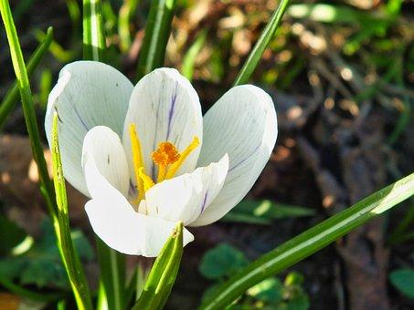 Flower, Crocus, Spring, Nature, Blossom