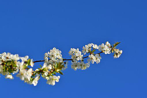 Spring, Flowering Twig, Sour Cherry, Nature