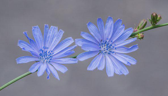 Chicory, Flower, Blue, Summer, Purple, Plant, Nature