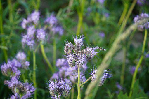 Phacelia, Bee Friendly, Syrphidae
