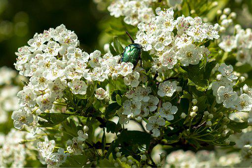 Wild, Sour Cherry, Wood, Fruit, Bloom, Branch, Insect
