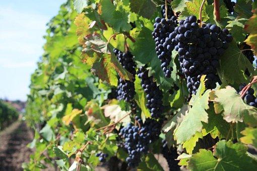 Cluster, Wine, Grapevine, Blue, Balls, Grapes, Grape
