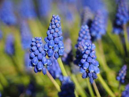 Muscari, Blossom, Bloom, Flower, Blue