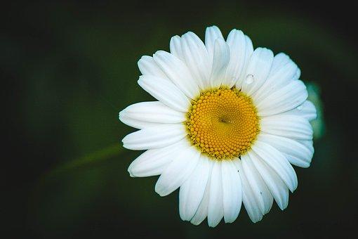Daisy, Flower, Summer Flowers, Chamomile, Flowers