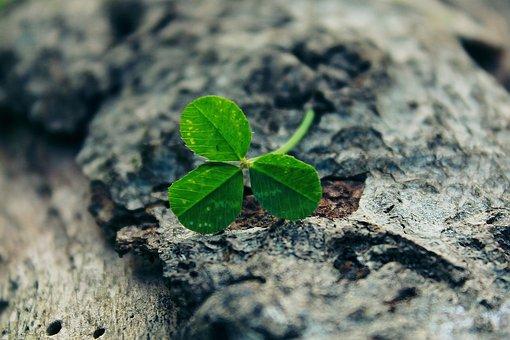 Four Leaf Clover, Klee, Green, Log, Bark, Close, Tree