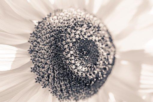 Sun Flower, Helianthus Annuus, Blossom, Bloom, Close