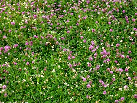 Klee, Clover Meadow, Meadow, Lucky Clover, Green