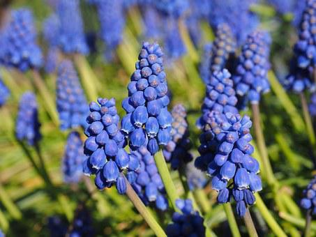 Hyacinth, Muscari, Common Grape Hyacinth, Blossom