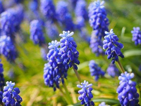 Muscari, Flowers, Blue, Common Grape Hyacinth, Hyacinth
