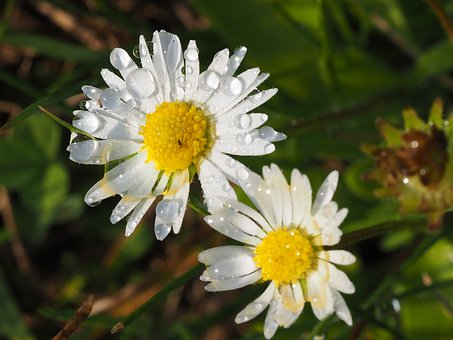 Daisy, Dewy, Detail, Flower, White, Daisies, Petals