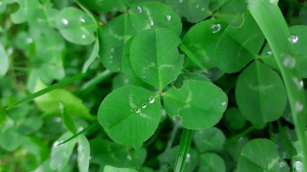Dreiklee, Green, Klee, Four Leaf Clover, Kleelätter