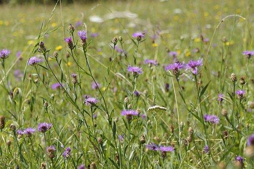 Meadow, Flower Meadow, Summer, Summer Meadow, Flora