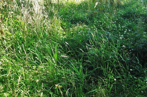 Summer Meadow, Wild Meadow, Flowering Grass, Grasses