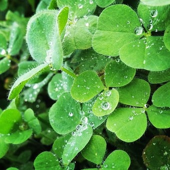 Klee, Nature, Green, Plant, Close Up, Red Clover