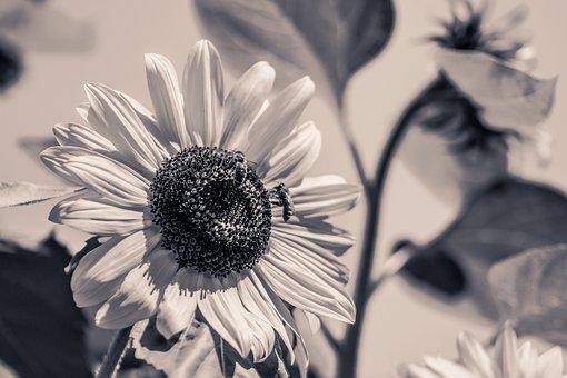Sun Flower, Helianthus Annuus, Blossom, Bloom