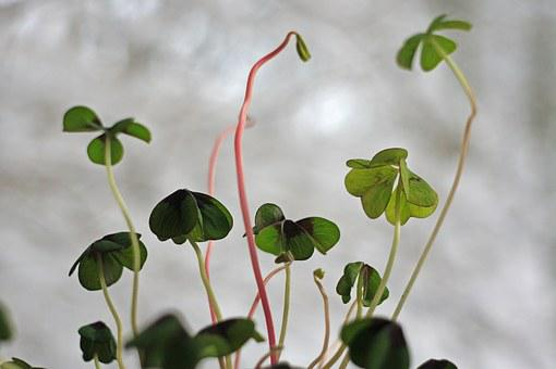 Klee, Green, Luck, Lucky Clover, Four Leaf Clover