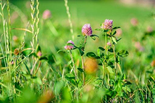 Field, Flower, Green, Meadow, Klee, Luck, Sun, Summer