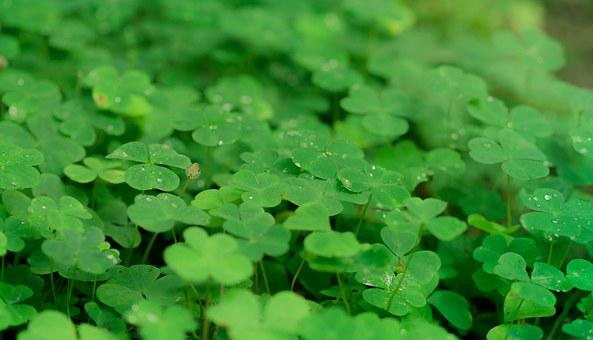 Klee, Shamrocks, Luck, Nature, Lucky Charm, Plant