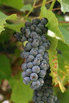Wine, Cluster, Grapevine, Vintage, Mature, Blue, Balls