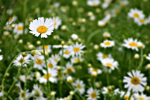 Plant, Field, Meadow, Daisy, Summer, Wildflower