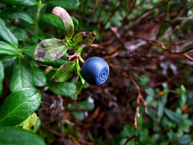 Blueberry, Berry, Wild Berry, Forest, Twig