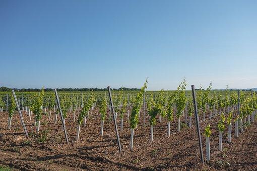 Grapes, Vintage, Vineyard, Vines, Wine, Wine Harvest