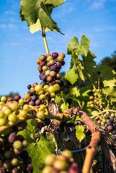 Wine, Grapes, Immature, Pinot Noir, Fruit, Vine