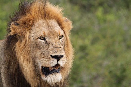 Lion, King Of The Jungle, Animal