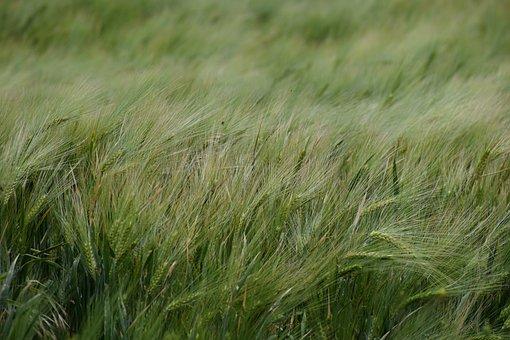 Grain Field, Spring, Flora, Nature, Botany, Garden