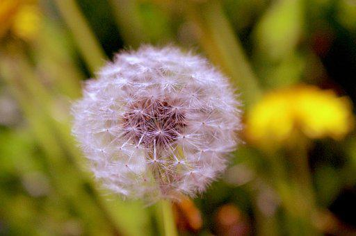 Dandelion, Fluff, Seeds, Spring, Plant, Nature, Meadow