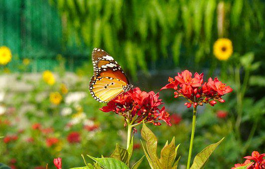 Butterfly, Plain Tiger, Insect