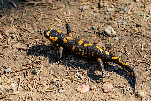 Fire Salamander, Lizard, Spring, Reptile, Cold Blooded