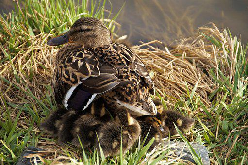 Duck, Wild, Mother, Female, Nest, Brood