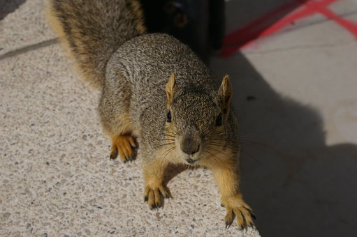 Squirrel, City, Nature, Animal, Rodent, Wildlife, Tail