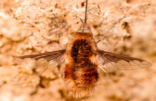 Bombyliidae, Insect, Fly, Nature