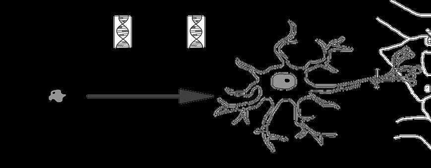 Neuronal Differentiation, Nerve Cell, Development