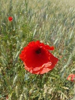 Poppies, Fields, Summer, Prairie