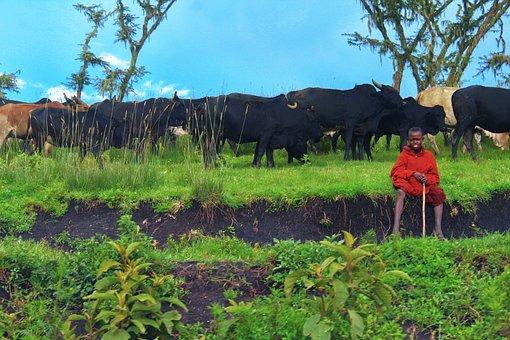Masai, Cattle, Ngorongoro, Tanzania