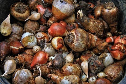 Onions, Tulip Bulbs, Tulips, Garden, Spring, Nature