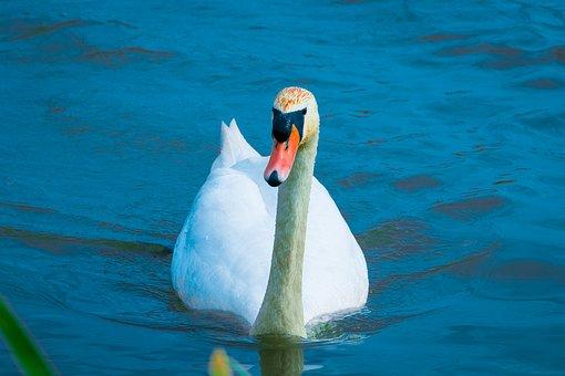Bird, Swan, Lake, White, Lagoon, Nature, Pond, Beak