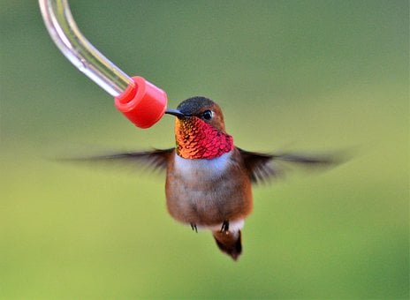 Male, Rufous, Hummingbird, Bird, Nature, Feeder