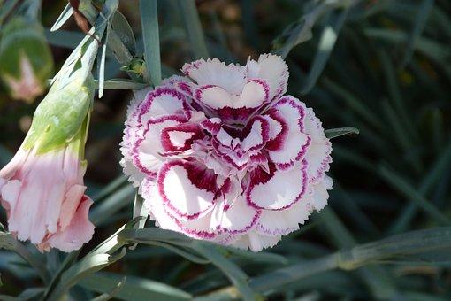 Dianthus, Carnation, Flower, Nature, Garden, Summer
