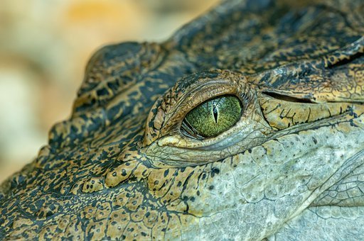 Crocodile, Eye, Portrait, Detail, Skin