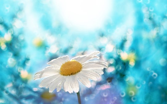 Daisy, Spring, Nature, Bloom, White