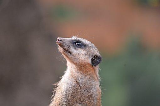 Meerkat, Zoo, Enclosure, Cute, Mammal, Portrait