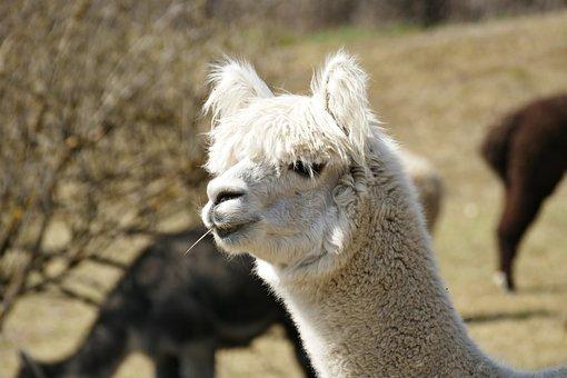 Alpaca, Animal, Enclosure, Face, Fluffy, Wool, Head